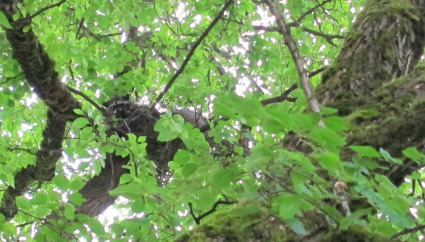 raccoon in a crow's nest, Woodland Park